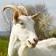 Goat's Milk Calories