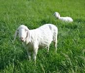 Calories in Sheep's Milk