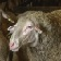 Sheep's Milk Calories