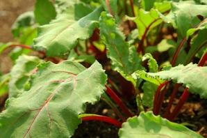 Beet Greens Nutrition