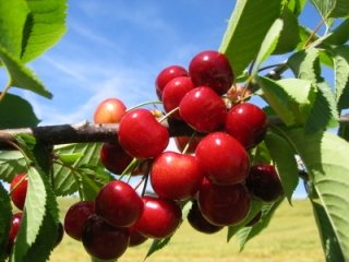 Cherry Nutrition Facts, Health Benefits of Cherries