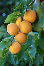 Apricot Nutrition Facts, Apricots Nutritional Information, Nutritional Value of Apricot, Health Benefits of Apricots