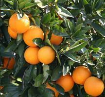 Orange Nutrition Facts, Orange Benefits